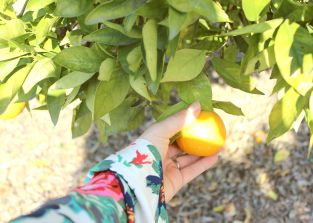 picking orange